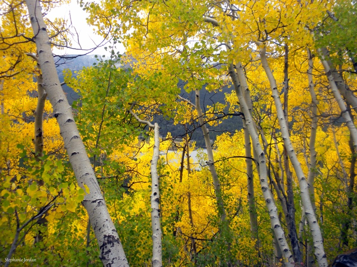Gold Aspen off Boreas Pass